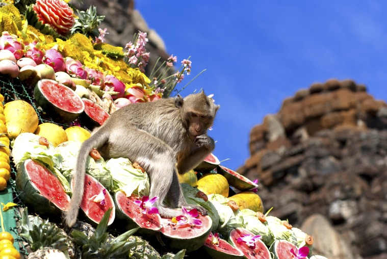 Monkeys are feeding themselves in the annual feast held for monkeys in Lopburi, Thailand. Fruits and vegetables are offered to monkeys during the annual festival to help promote tourism in the area.